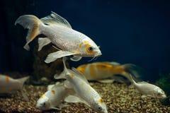 Allevamento differente dello stagno di colore del pesce della carpa a specchi immagine stock libera da diritti