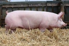 Allevamento domestico del maiale colorato rosa alla fattoria degli animali Fotografia Stock