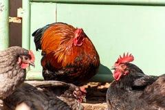 Allevamento domestico delle galline Vita su una piccola azienda agricola Agricoltura ecologica Fotografia Stock Libera da Diritti