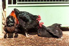 Allevamento domestico delle galline Vita su una piccola azienda agricola Agricoltura ecologica Fotografia Stock