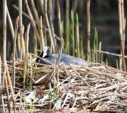 Allevamento euroasiatico della folaga nel suo nido Fotografie Stock
