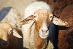 Allevamento, gregge delle pecore Fotografia Stock Libera da Diritti