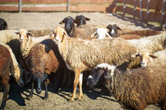 Allevamento, gregge delle pecore Immagine Stock