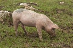 Allevamento iberico spagnolo del maiale Fotografie Stock Libere da Diritti