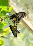 allevamento Nero-giallo della farfalla di colore Fotografia Stock Libera da Diritti
