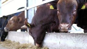 allevamento o ranch di agricoltura una grande stalla, granaio Fila delle mucche, di grande purosangue nero e marrone, tori riprod archivi video