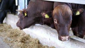 allevamento o ranch di agricoltura una grande stalla, granaio Fila delle mucche, di grande purosangue nero e marrone, tori riprod stock footage