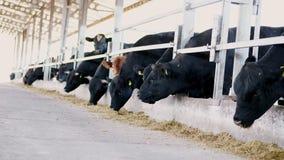 allevamento o ranch di agricoltura una grande stalla, granaio La fila delle mucche, grande purosangue nero, tori riproduttori man video d archivio