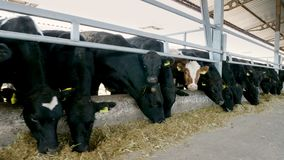 allevamento o ranch di agricoltura una grande stalla, granaio La fila delle mucche, grande purosangue nero, tori riproduttori man archivi video