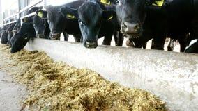 allevamento o ranch di agricoltura una grande stalla, granaio Le file delle mucche, grande purosangue nero, tori riproduttori man stock footage