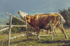 Allevamento organico del bestiame Immagine Stock