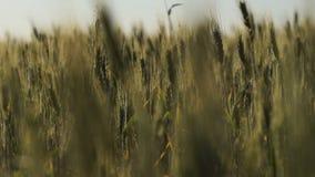 Allevamento organico del grano per l'esportazione, industria nazionale di agricoltura, terra fertile video d archivio