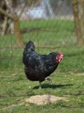 Allevamento organico del pollo Immagini Stock