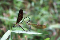 Allevamento porpora della libellula della bella a lungo coda Fotografia Stock