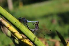 Allevamento porpora della libellula della bella a lungo coda Immagine Stock
