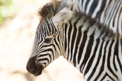 Allevamento selvaggio della zebra Fotografia Stock