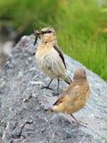 Allevando di un uccello di bambino nella natura Fotografia Stock Libera da Diritti