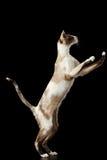 Allevando su gatto orientale isolato sul nero Fotografia Stock Libera da Diritti