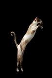 Allevando su gatto orientale isolato sul nero Immagine Stock Libera da Diritti