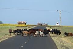 Allevatori di bestiame con il suo gregge di bestiame in Etiopia Fotografie Stock Libere da Diritti