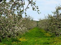 Alley in an apple tree field in bloom with white flowers. Dandelion and green grass Royalty Free Stock Image
