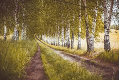 Alley of autumn birches. Horizontal image stock photos