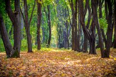 Alley on the autumn forest with falling leaves royalty free stock photo