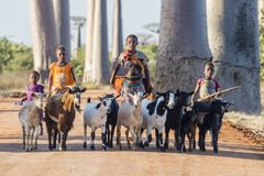 Alley of the Baobabs, Madacascar - Aug. 22, 2016: Shepherds with goats walking along the rural road of the Alley of the royalty free stock photography