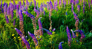 Alley beautiful flowers Lupin. Alley unusually beautiful flowers Lupin Royalty Free Stock Photography