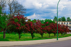Alley with beautiful red flowering trees. Background. Stock Photos