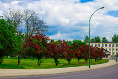 Alley with beautiful red flowering trees. Background. Royalty Free Stock Photos