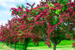 Alley with beautiful red flowering trees. Background. Stock Photo