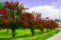 Alley with beautiful red flowering trees. Background. Stock Image