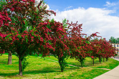 Alley with beautiful red flowering trees. Background. Stock Images