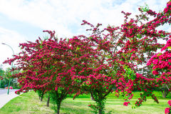 Alley with beautiful red flowering trees. Background. Royalty Free Stock Photography