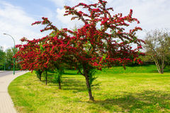 Alley with beautiful red flowering trees. Background. Royalty Free Stock Images