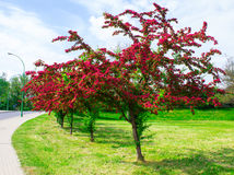 Alley with beautiful red flowering trees. Background. Royalty Free Stock Image