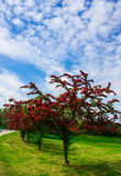 Alley with beautiful red flowering trees. Background. Royalty Free Stock Photo