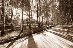Alley in a birch forest Stock Photos
