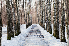 Alley in birch forest in spring day Stock Photo