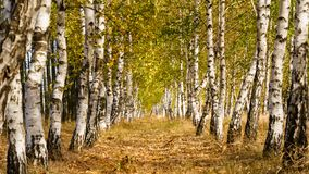 Alley with birch trees, birch tree avenue in autumn royalty free stock photos