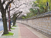 Alley of blooming cherry trees Stock Photography