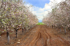 Blossoming garden of peach trees Stock Photography