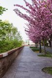 Alley of blossoming plum trees in Buda Castle in Budapest, Hungary stock photos