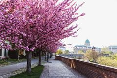 Alley of blossoming plum trees in Buda Castle in Budapest, Hungary royalty free stock photography