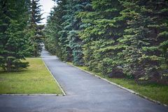 Alley with blue firs in the park stock photography