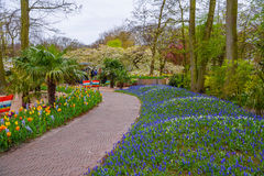 Alley with blue grape hyacinths in Keukenhof park, Lisse, Holland, Netherlands Royalty Free Stock Photography