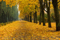 Alley in the bright autumn park. Alley in autumn park with yellow trees Stock Photography