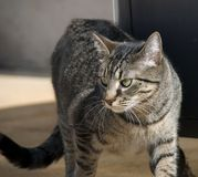 Alley Cat Royalty Free Stock Photo