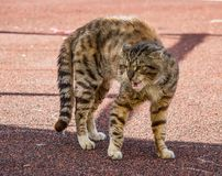 An Angry Alley Cat royalty free stock image